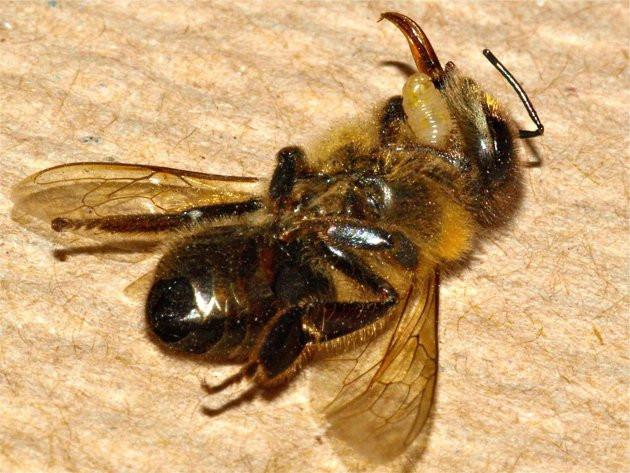 Vòng đời một con ruồi ký sinh cũng kinh dị không kém một kịch bản khoa học giả tưởng.