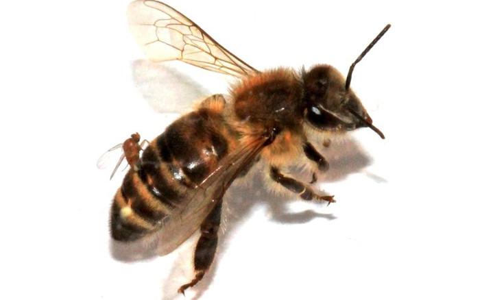 """Những chú ong mật là nạn nhân không tình nguyện của một loài ký sinh trùng gây ra những hành vi bất thường giống """"zombie""""."""