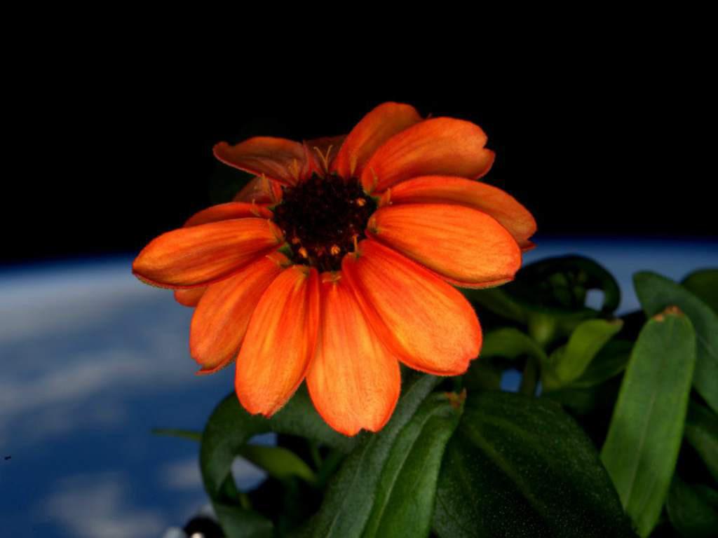 Bông hoa đầu tiên thuộc họ hoa cúc nở trên ISS vào ngày 15/1/2016.