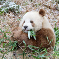 Chú gấu trúc nâu cuối cùng sống qua mùa đông -30 độ