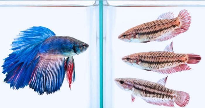 Màu sắc của cá xiêm sẽ thay đổi phụ thuộc vào tính thuận lợi của môi trường sống và thậm chí ...tâm trạng của chúng.