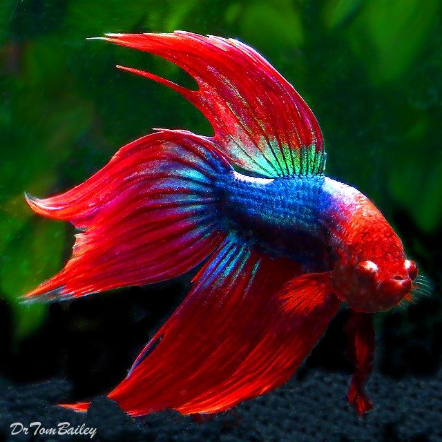 """Giống cá này nổi tiếng là hiếu chiến và thường được sử dụng trong các trận """"chọi cá""""."""