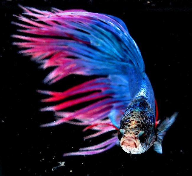Đây là loài cá lâu đời ở Thái Lan.