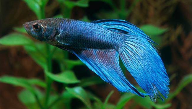 Cá xiêm là dòng cá có nhiều màu sắc đa dạng.