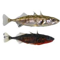Cá tiến hóa siêu nhanh thành hai loài trong cùng hồ