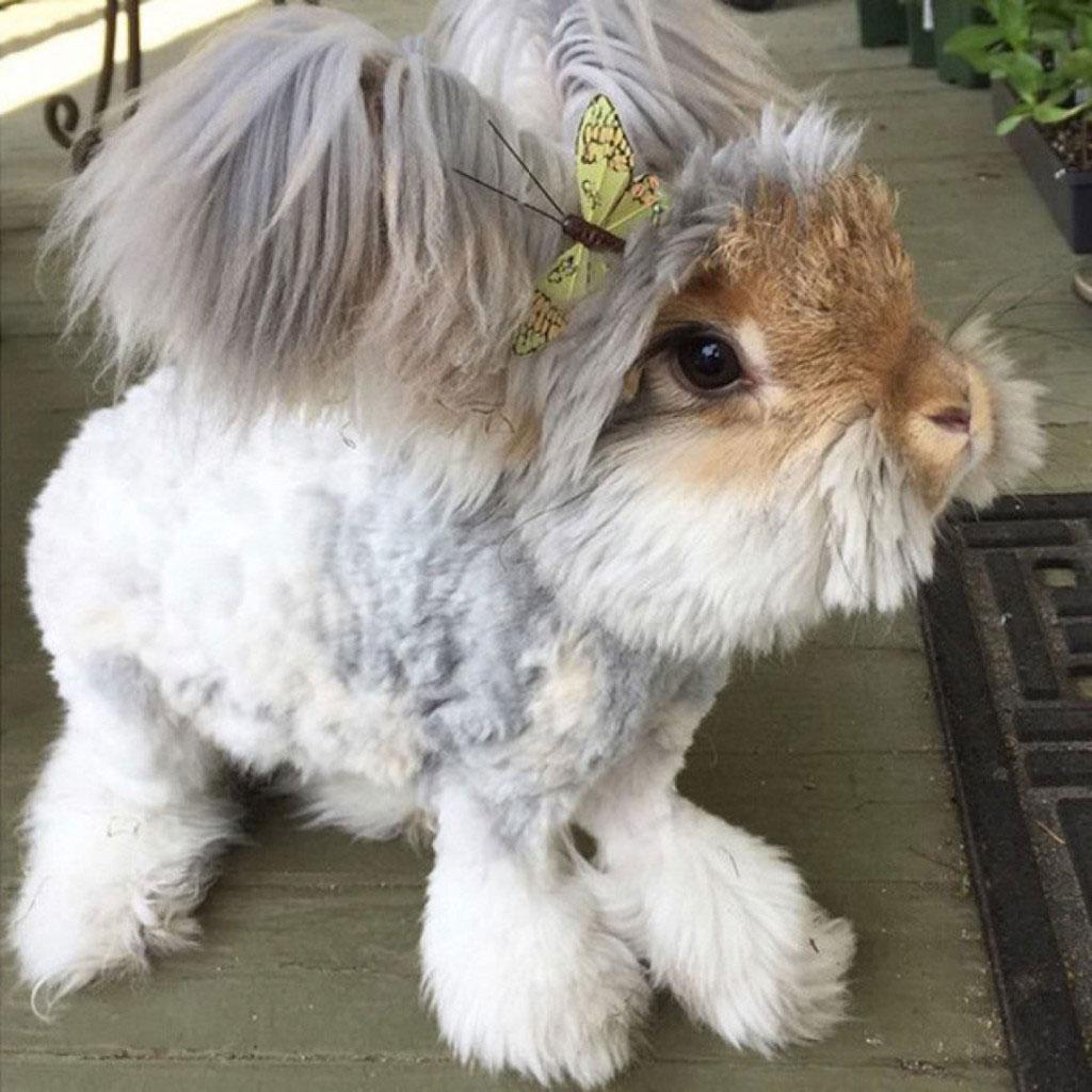 Chú thỏ Wally ở Anh sớm nổi tiếng với đôi tai đặc biệt