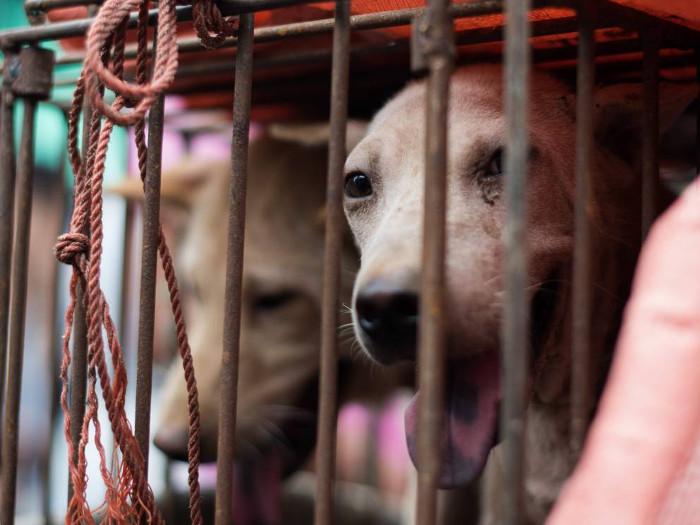 Mỗi năm ở Trung Quốc có đến 10 triệu con chó bị người dân bắt giết, ăn thịt.