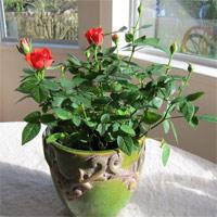 Trồng hoa hồng từ củ khoai tây