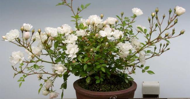 Trồng hoa hồng bằng khoai tây