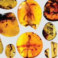Phát hiện hóa thạch tắc kè nằm trong hổ phách có niên đại gần 100 triệu năm