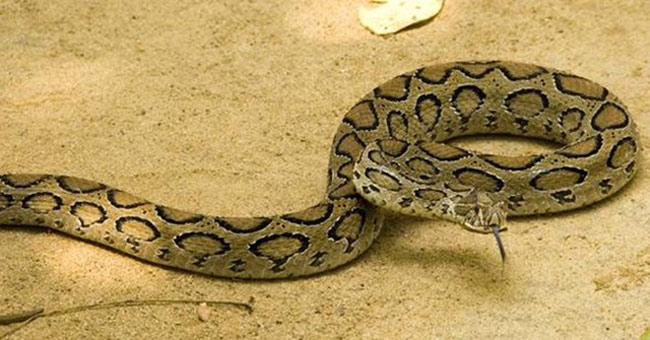 Loài rắn Russell's Pit Viper còn gọi là Daboia