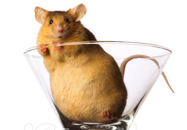 Những con chuột mũm mĩm do được cho ăn nhiều chất béo, số lượng tế bào gốc phát triển nhiều vượt mức dự đoán.