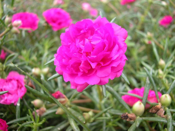 Kỹ thuật trồng hoa mười giờ không quá phức tạp và khó khăn.