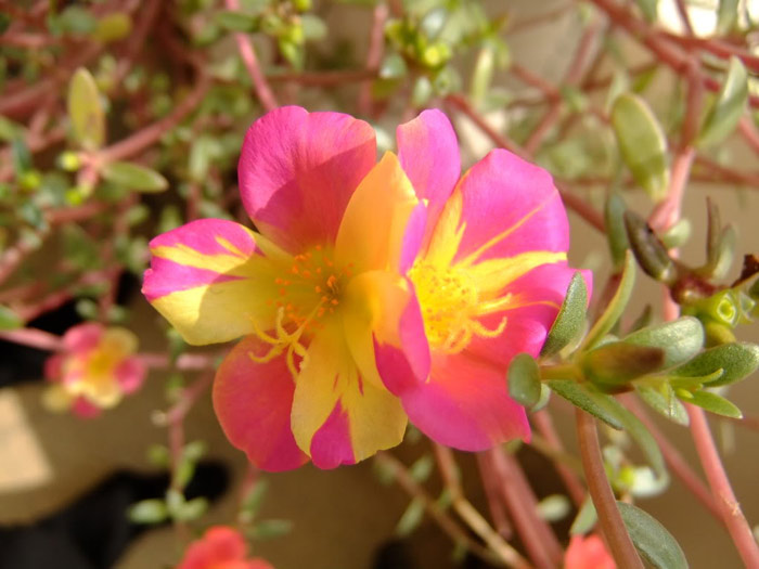 Người trồng có thể ứng dụng kỹ thuật trồng hoa mười giờ bằng hạt để cho ra hoa có màu sắc đặc biệt.
