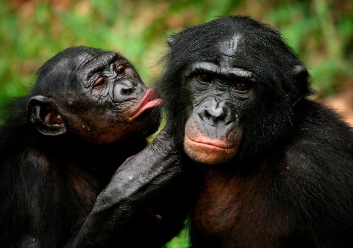 Khỉ bonono sống theo chế độ mẫu hệ, tức là các cá thể cái chiếm giữ vị trí trên cùng của cấu trúc xã hội hình kim tự tháp.