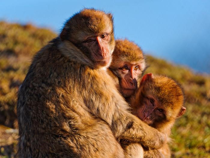 """Khỉ đuôi ngắn Barbary cũng có khả năng giả vờ """"lên đỉnh""""."""