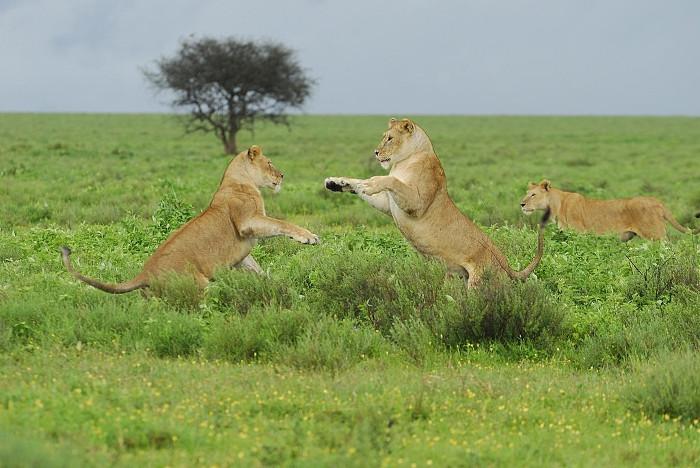 Các sư tử cái có thể được coi là trụ cột kiếm ăn cho gia đình.