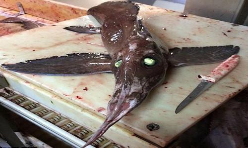Con cá chimaera có mũi dài gần bằng cơ thể.