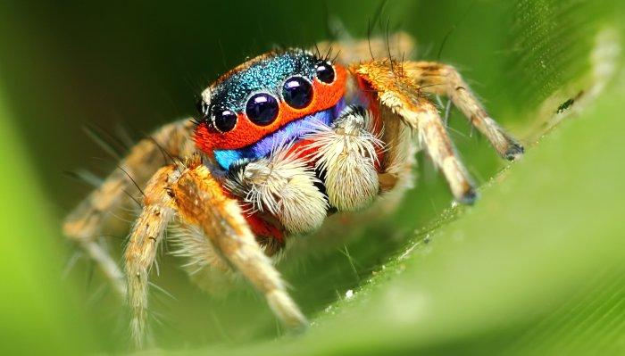 Có 1 loài nhện thích ăn chay đó là Bagheera kiplingi.