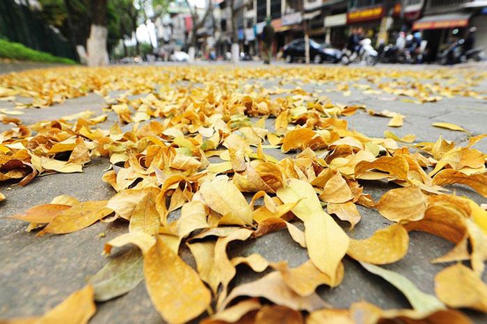 Những chiếc lá vàng rụng xuống như trải một thảm màu vàng trên lối đi.