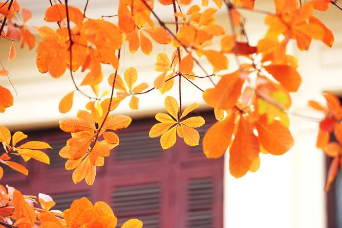 Những chiếc lá vàng cũng chỉ lưu trên cành 2 - 3 ngày là rơi rụng.
