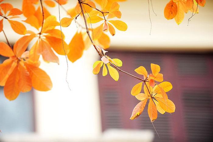 Thông thường những loại cây khác thay lá vào mùa thu, riêng lộc vừng lại thay lá vào mùa xuân.