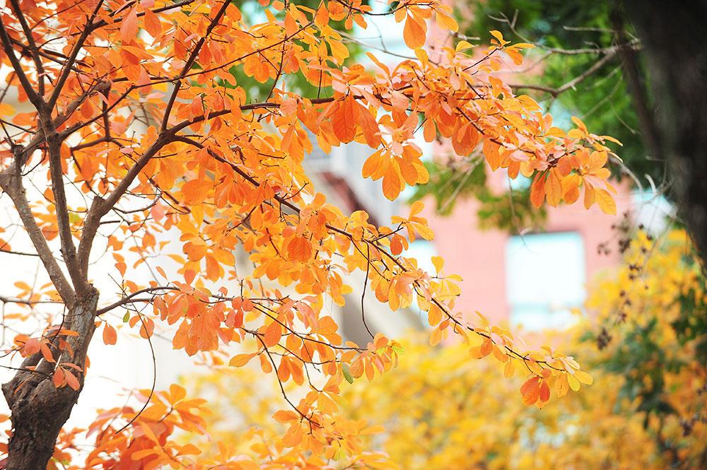 Màu vàng của lộc vừng giữa tiết trời lạnh giá của Hà Nội như sưởi ấm thủ đô.