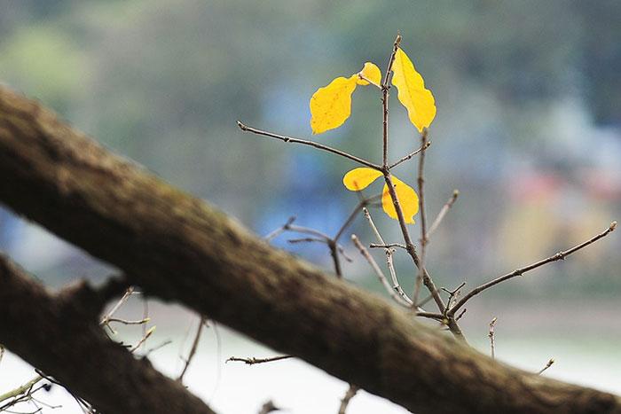 Còn với cây lộc vừng chín gốc thì hầu như lá vàng đã trút gần hết, nhường lại cho những chồi non mới nhú, chuẩn bị cho một mùa hoa đỏ rực.