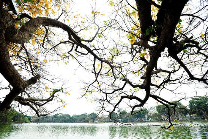 Cây lộc vừng vươn cành ra mặt Hồ Gươm.