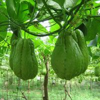 Kỹ thuật trồng su su cho nhiều ngọn, sai quả