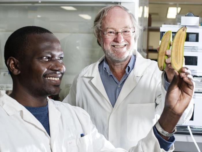 Chuối biến đổi gene được phát triển tại Đại học Công nghệ Queensland.