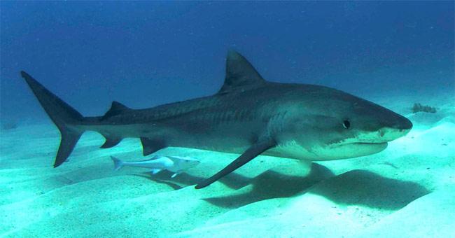 Cá mập hổ – Tiger Shark