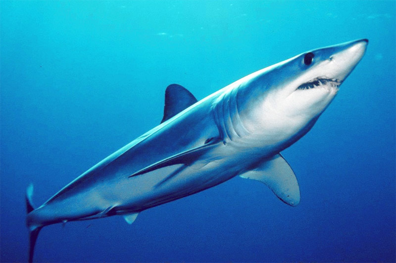 Cá mập Mako vây ngắn – Shortfin Mako