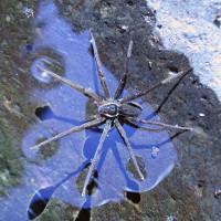 Tìm ra loài nhện biết cưỡi sóng săn mồi như thủy thần ngày xưa