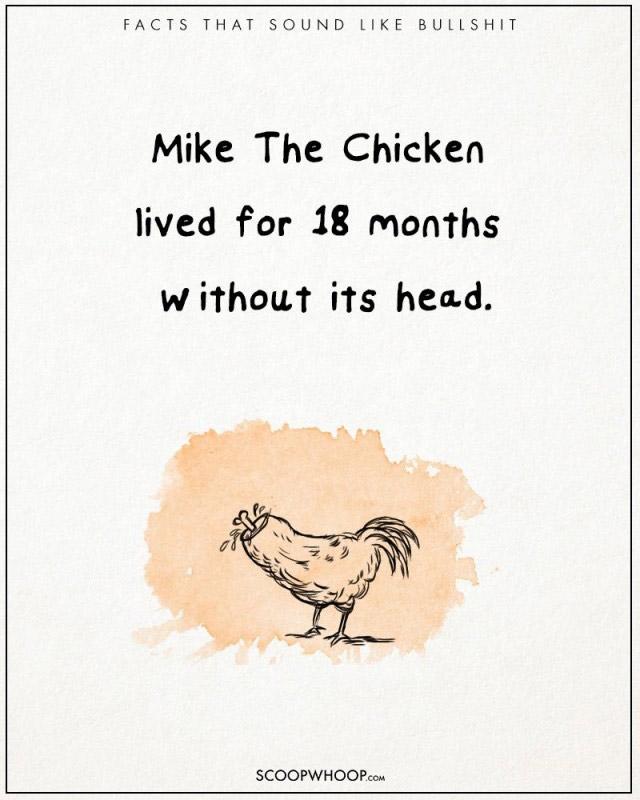 Mike, một chú gà đã sống 18 tháng mặc dù không có đầu