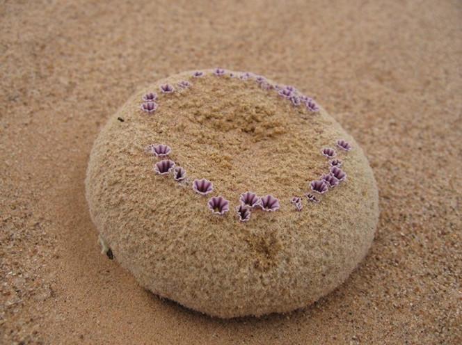 Pholisma sonorae được xếp vào nhóm thực vật quý hiếm vì bị thu hẹp môi trường sống rất nhiều.