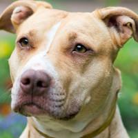 5 loài chó dữ có xu hướng cắn chủ nhiều nhất thế giới