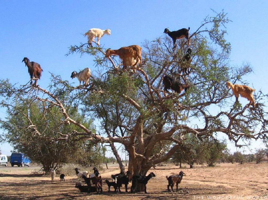 Ở Ma-rốc có những loại trái cây ngon lành nhất, nhưng một điều đáng ngạc nhiên là những con dê trèo lên cây để ăn các loại trái cây và phân của nó được sử dụng để làm dầu Argan.