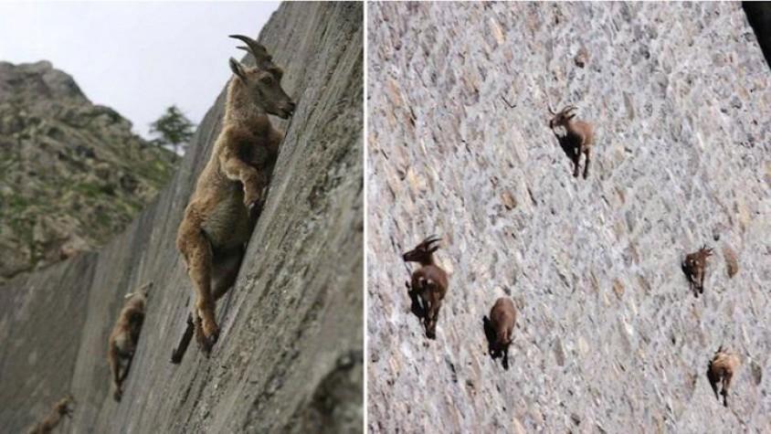 Đây là ở ở Ý nơi có những con dê leo đập thủy điện có dốc thẳng đứng.