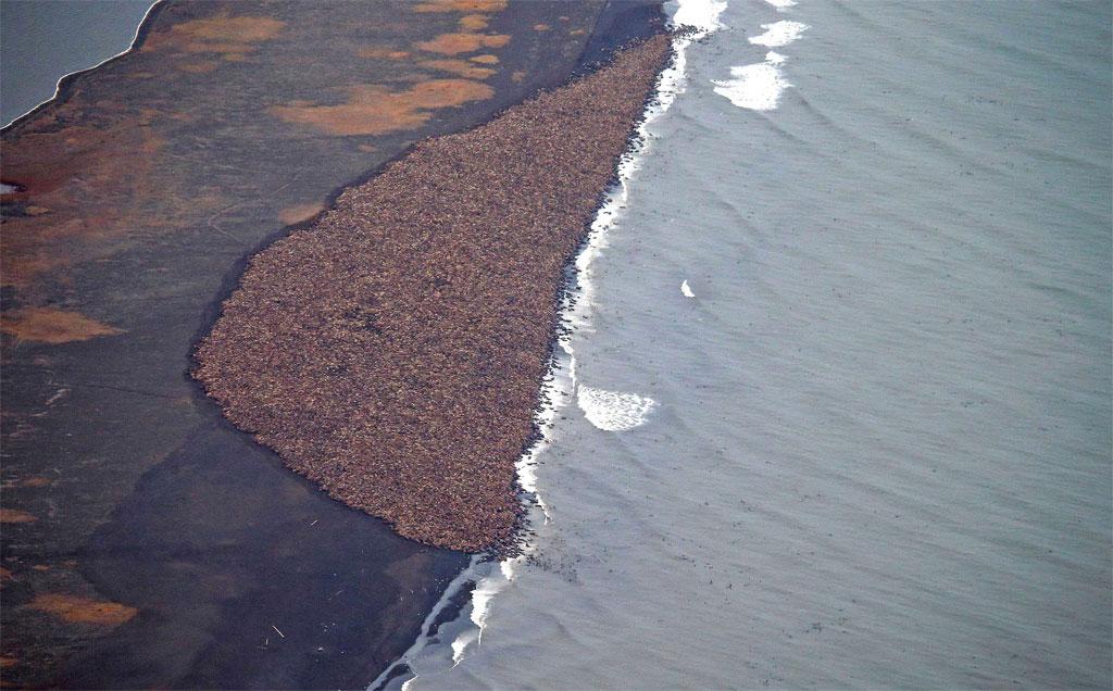 Như một hậu quả của sự thay đổi khí hậu, các con hải mã tụ lại một chỗ và tạo lên bức ảnh tuyệt vời này.