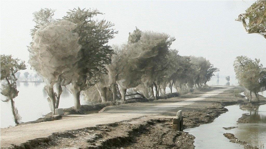 Hàng triệu con nhện giăng tơ lên cây sau một trận lụt lớn xảy ra ở Pakistan. Điều này là trông quá đáng sợ!
