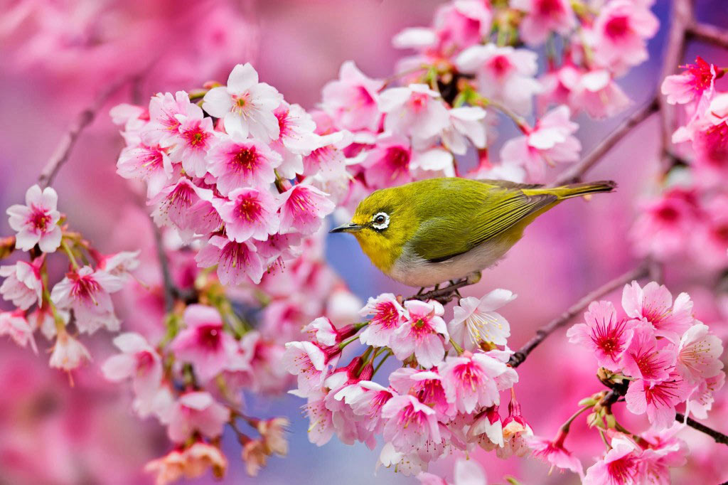 Mùa xuân gõ cửa nước Nhật bằng những bông hoa anh đào dịu dàng, mang vẻ mơ màng và đầy thơ mộng
