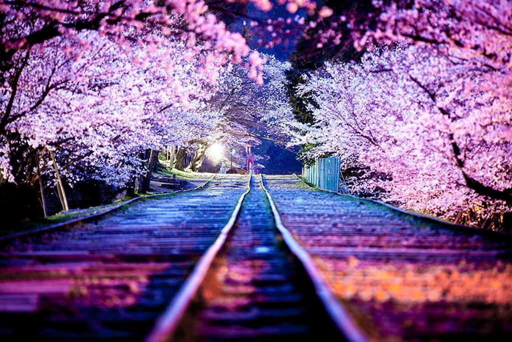 Loài hoa này đã trở thành đại sứ văn hóa của Nhật Bản, đưa bản sắc độc đáo của quốc gia này tới nhiều nước trên thế giới.