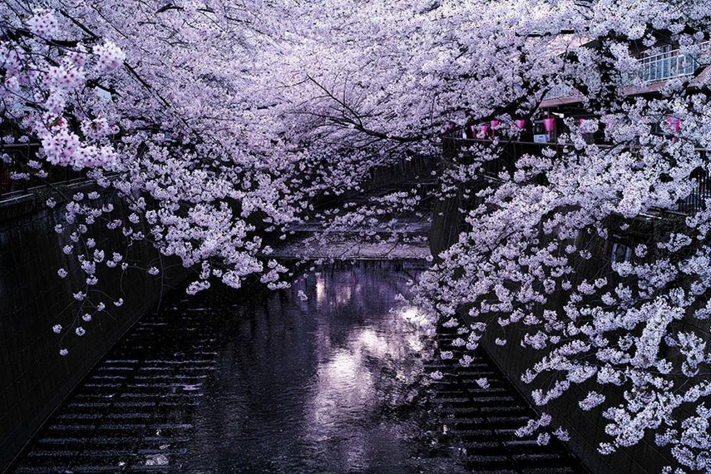 Hoa anh đào có nhiều loại và mọc ở nhiều nơi. Nhưng đối với người Nhật Bản, không đâu đẹp và thơm bằng loài anh đào được ươm mầm và trổ bông ở vùng núi Phú Sĩ