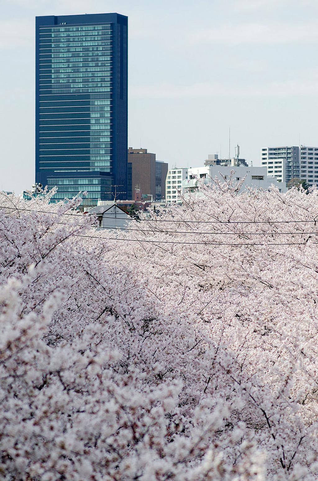 Hoa anh đào không thể đẹp nếu đứng độc lập một mình, mà chỉ đẹp khi nở rộ thành tảng mây hoa. Cũng như con người Nhật Bản không thể mạnh khi đứng một mình, mà cần phải biết tạo nên sức mạnh hùng cường của sự đoàn kết