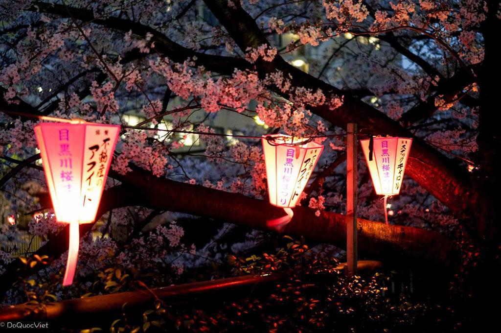 Hằng năm, các lễ hội ngắm hoa truyền thống cũng được tổ chức dọc đất nước từ sáng đến đêm. Vì vậy, các công viên luôn trong tình trạng đông đúc. Nhiều người phải đến từ sáng sớm để giữ địa điểm đẹp, thuận tiện thưởng thức món quà của mùa xuân.