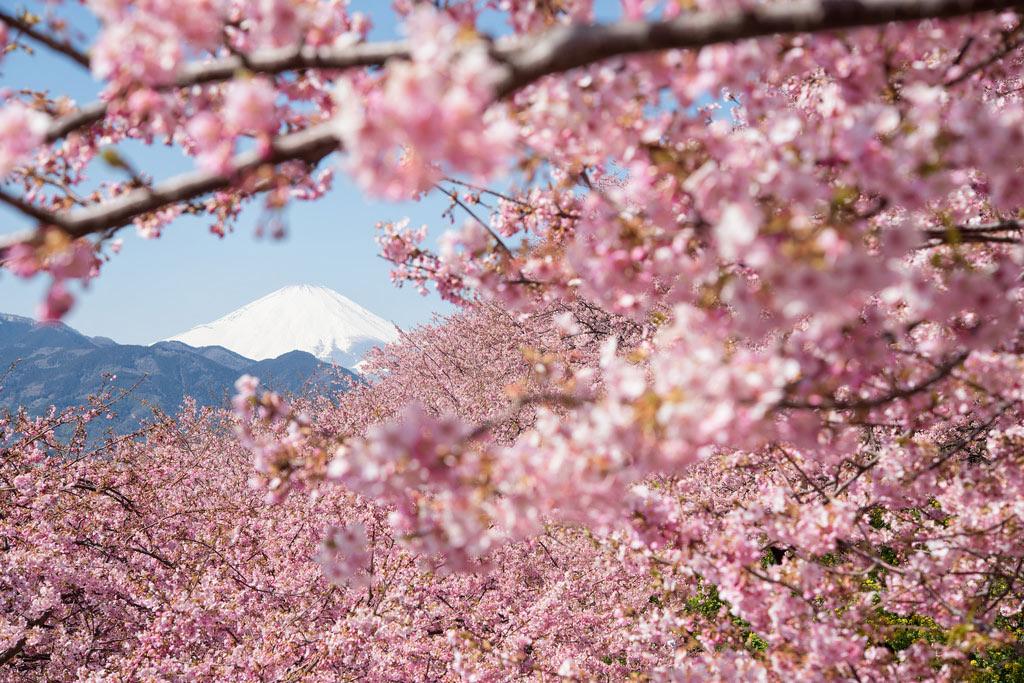 Trong số hàng triệu nụ đào hé nở, phổ biển nhất là someiyoshino, loại hoa có cánh to và vẻ đẹp quý phái, luôn bung nở một cách rực rỡ.