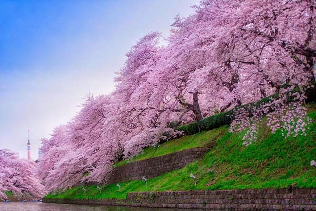 Những triền hoa như tấm áo hồng bao phủ lấy bờ đê