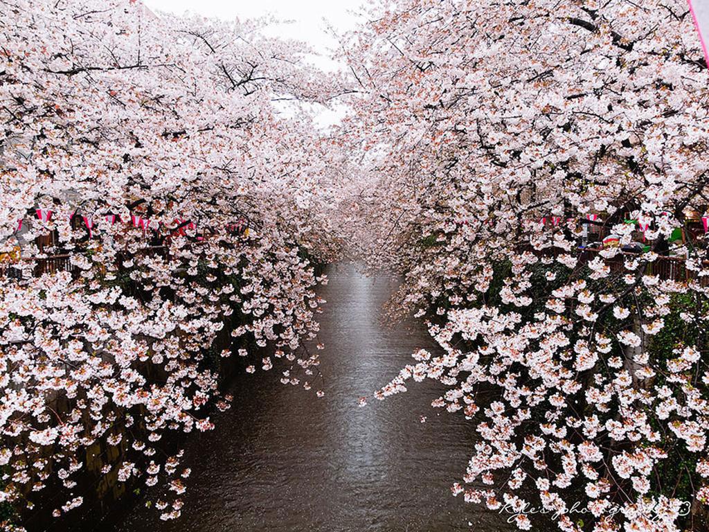 Khi nhắc đến quê hương của chú mèo máy Doreamon, bất kỳ du khách nào cũng biết đến loài quốc hoa nổi tiếng - hoa anh đào (sakura) - niềm tự hào của người dân Nhật Bản.