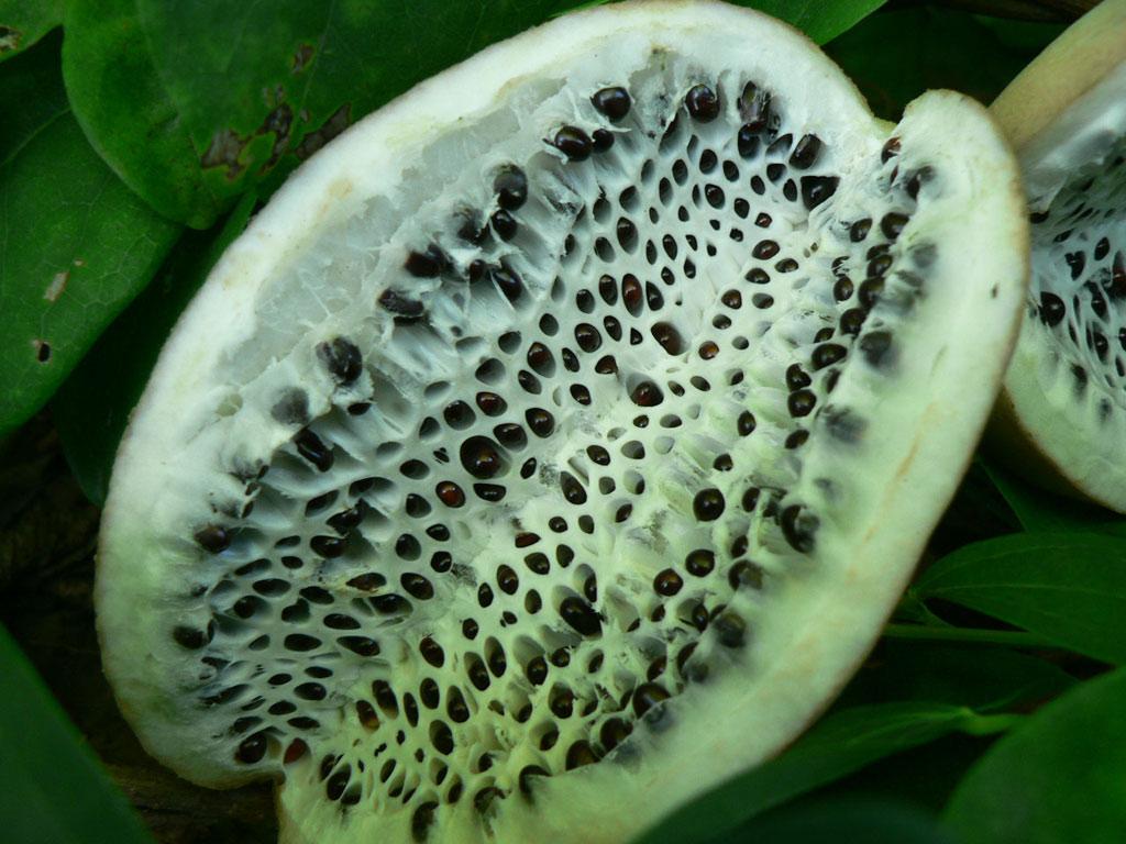 Quả akebia - Loại quả này rất phổ biến ở Nhật Bản. Trong văn hóa dân gian Nhật Bản cũng có lưu truyền những câu chuyện tìm kiếm loài trái cây kỳ lạ này trên những ngọn đồi.